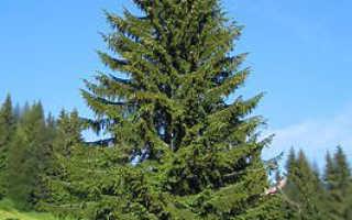 Какие деревья растут в городе екатеринбурге
