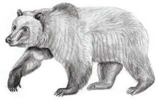Как рисовать медведя спящего