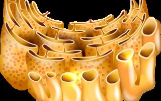 Какие органоиды отсутствуют у прокариот