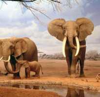 Зачем слону большие уши