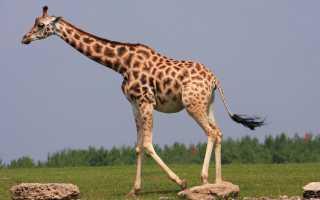 Как передвигается жираф