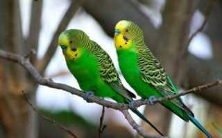 Как понять пол у попугая