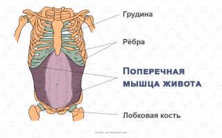 Как устроены мышцы пресса
