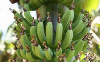 Почему бананы изогнуты