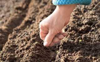 Семена пекинской капусты как вырастить