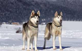 Какую ездовую собаку предпочитают жители Аляски