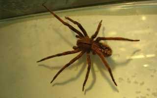 Кто такой бразильский странствующий паук