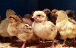 Как отличить цыплят курочек от петушков