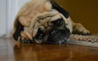 Могут ли собаки плакать