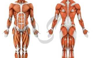 Чем снаружи покрыты мышцы