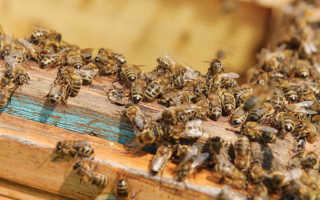 Чем отличаются породы пчел
