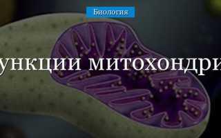 Какую функцию в клетке выполняет митохондрия