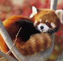 К какому классу относится малая панда