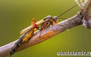 Кто такой жук наездник