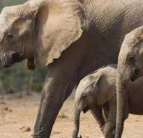 Сколько месяцев длится беременность у слона