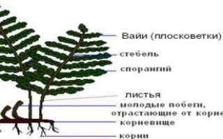 Каковы внешние особенности папоротниковидных