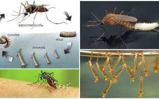 Сколько живет комар