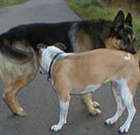Почему собаки нюхают друг друга под хвостом