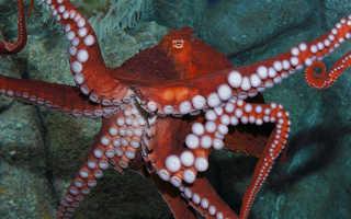 Насколько умен осьминог
