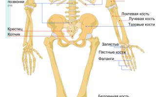Из скольки костей состоит скелет человека